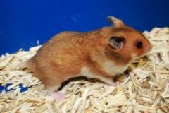 hamster-vanlig-guldhamster